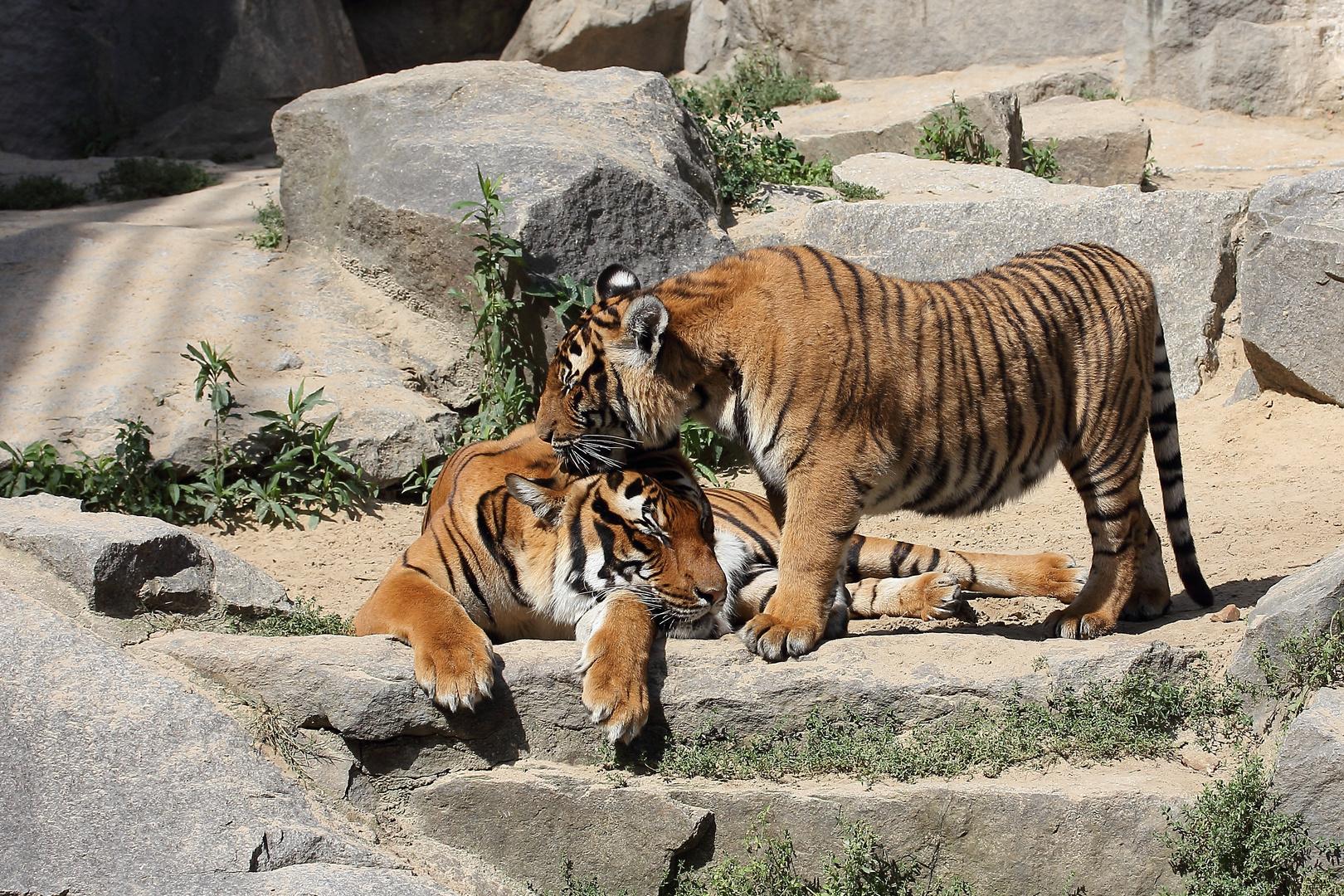 Familien-Sommertag bei den Tigern II