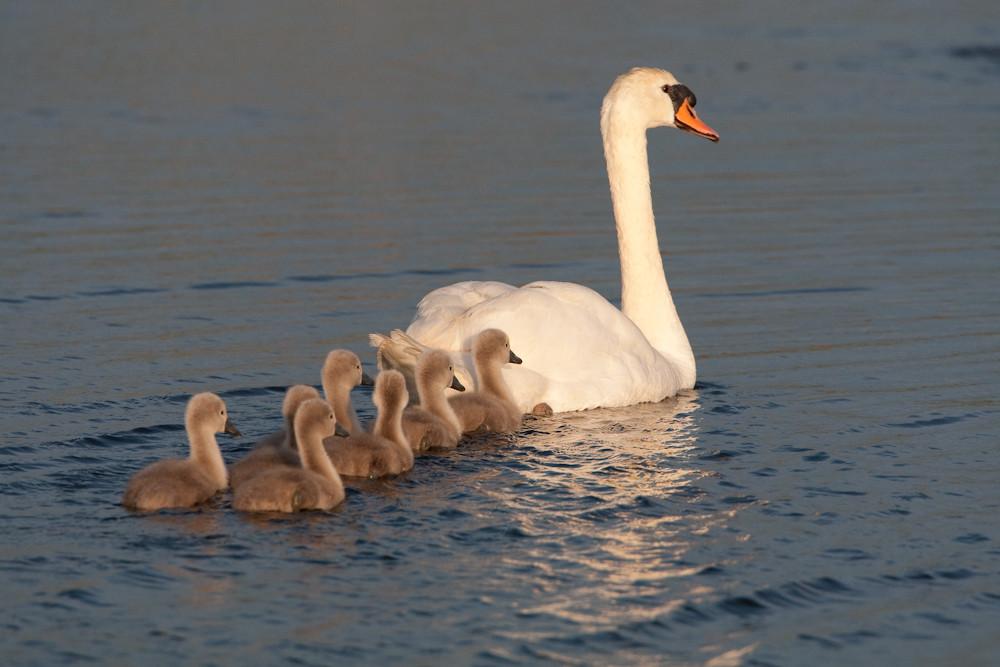 Familienausflug bei den Schwänen