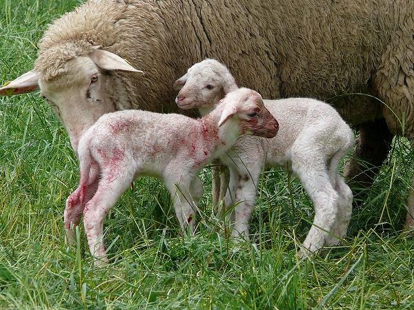 Familienfoto nach der Lamm-Geburt