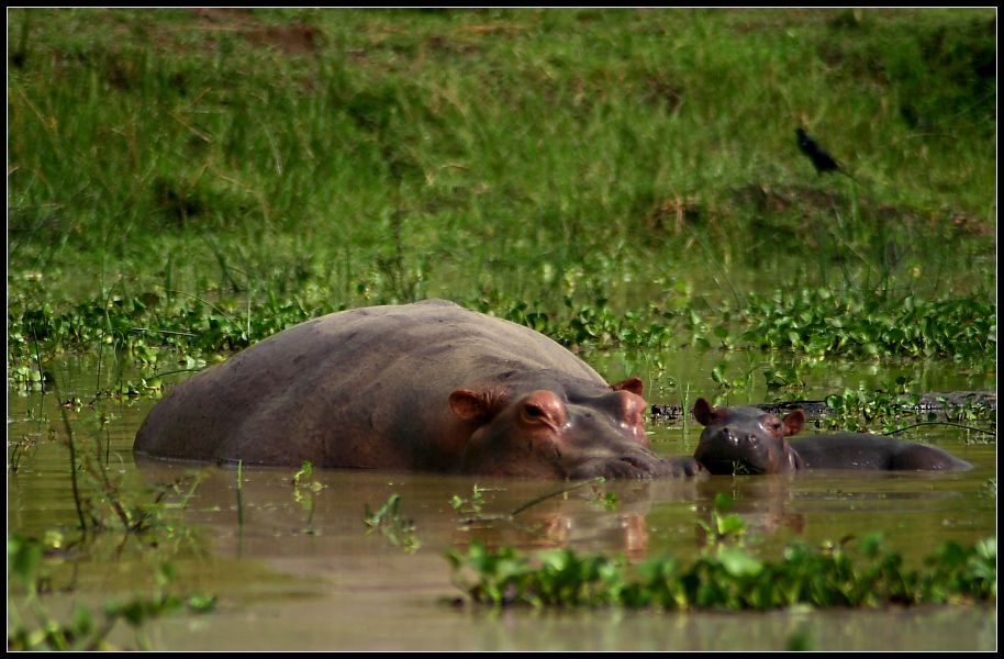 Familienglueck III, Murchison Falls NP, Uganda