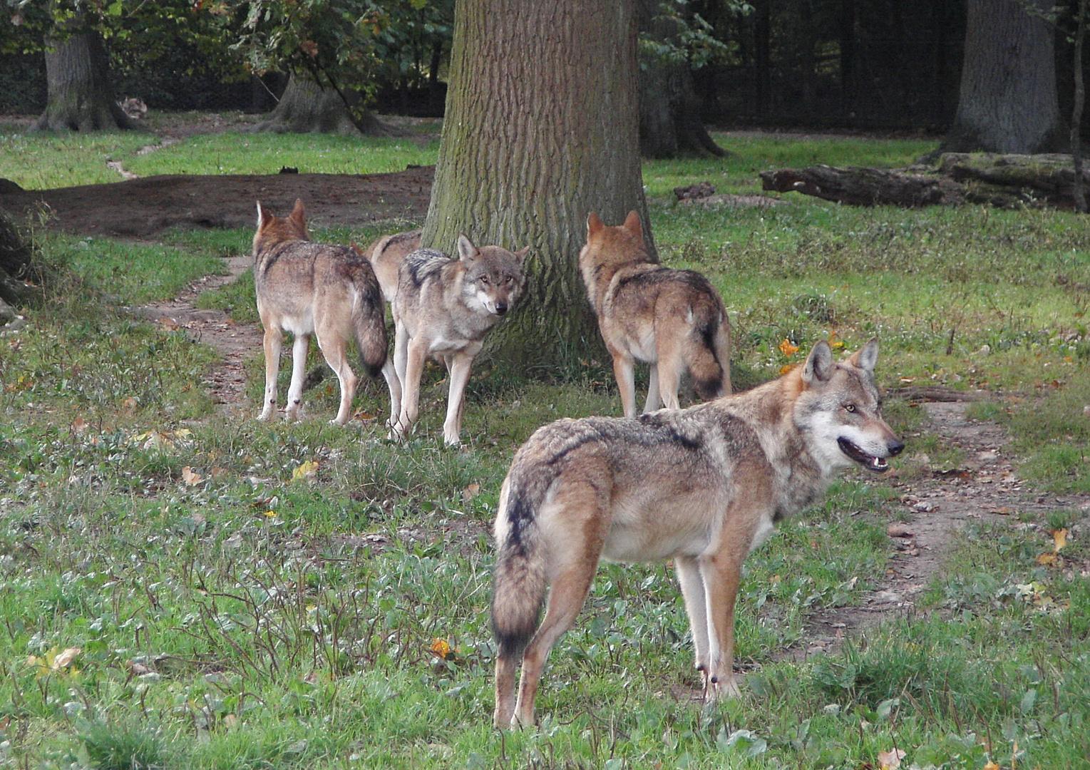 Familientreff - Wolfsleben 3