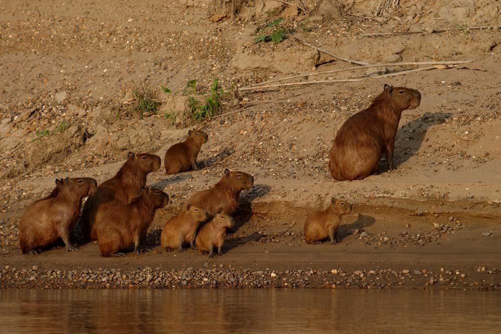 Famille de capybaras sur le Madre de Dios, Pérou