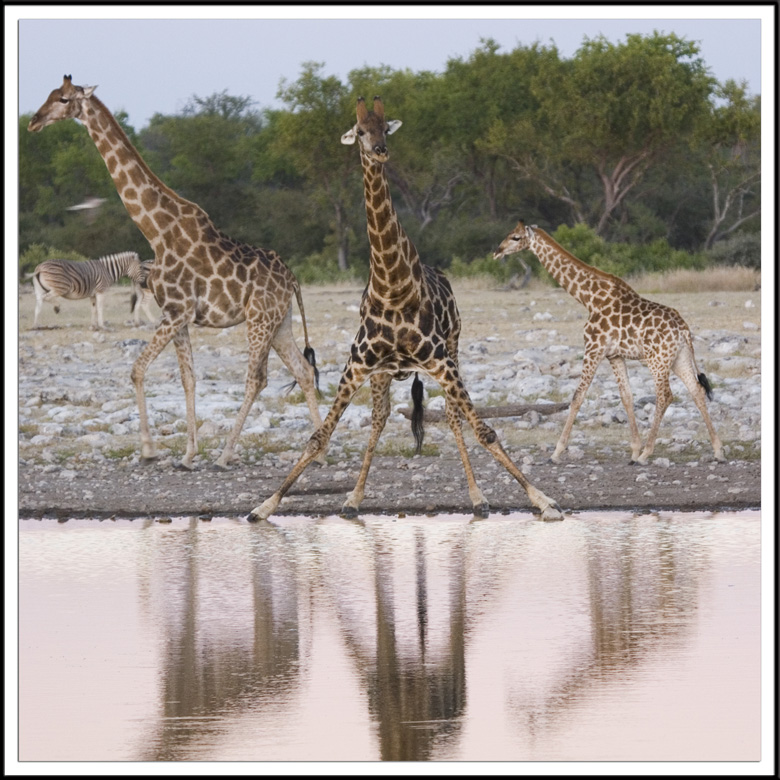 Famille de Giraffes