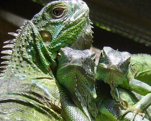 famille de lézards