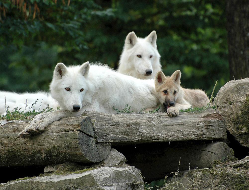 famille de loups blancs de Sibérie , nikon D70