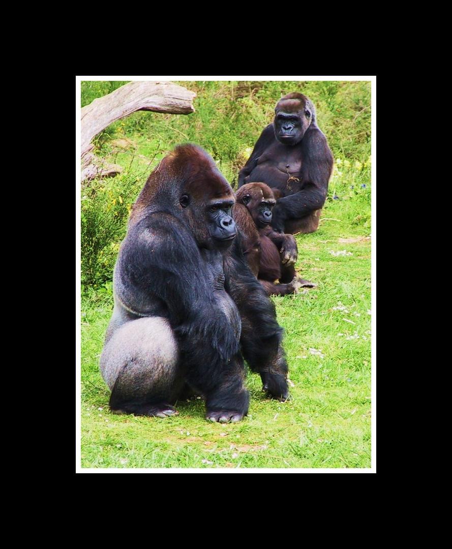 famille gorille