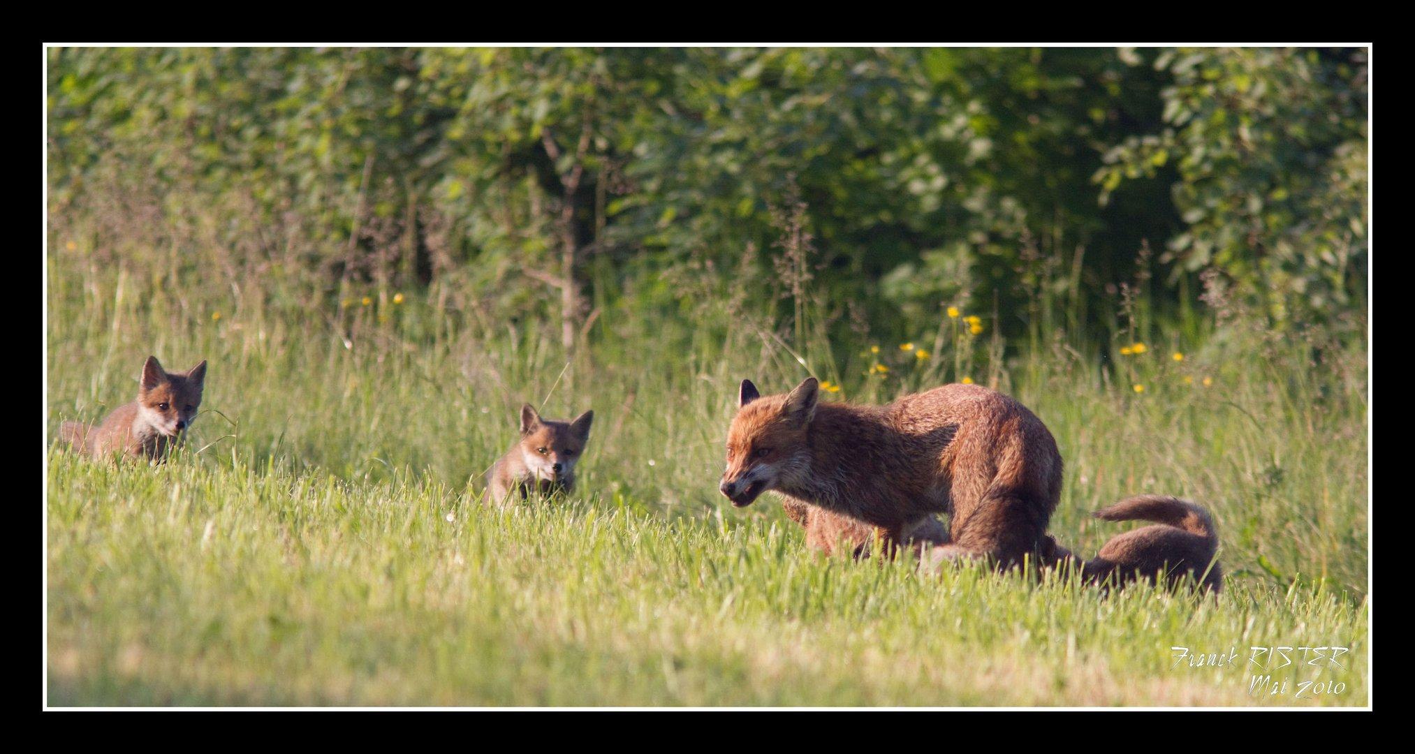 Famille renard