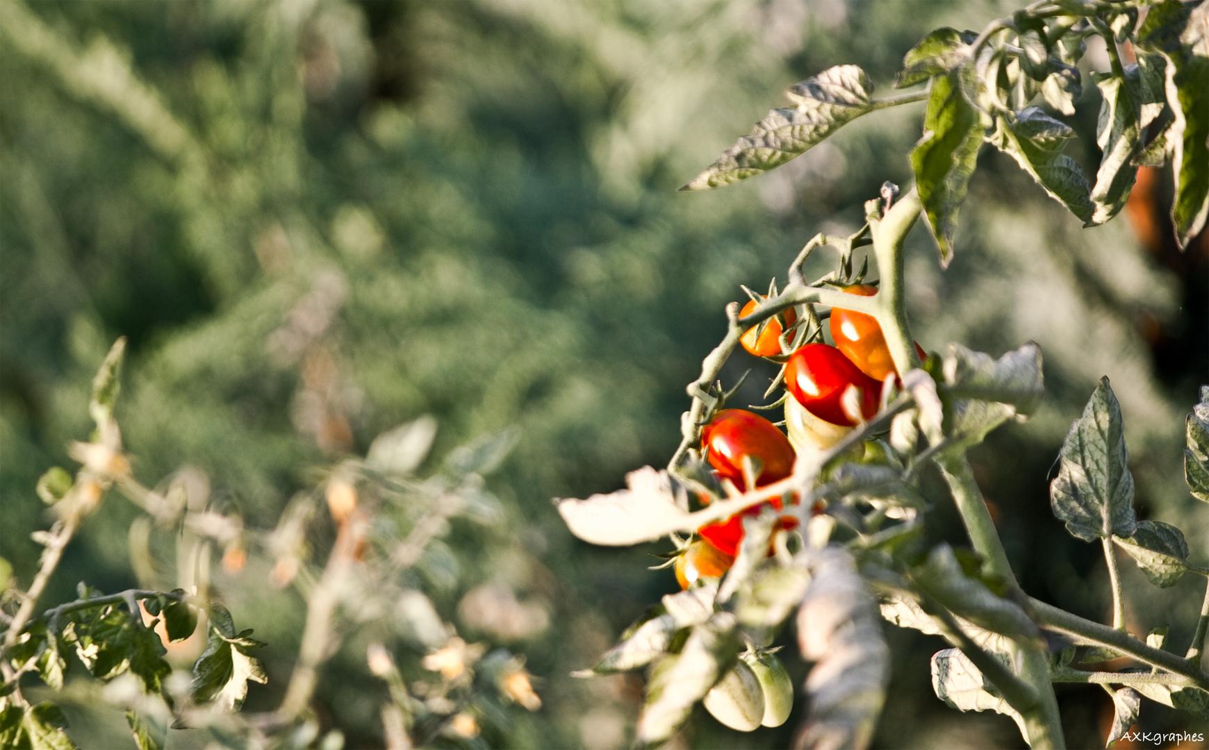 Family Tomato hanging arround