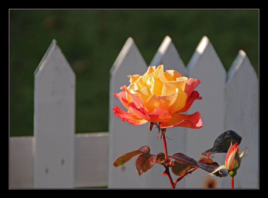 Fanø-Rose