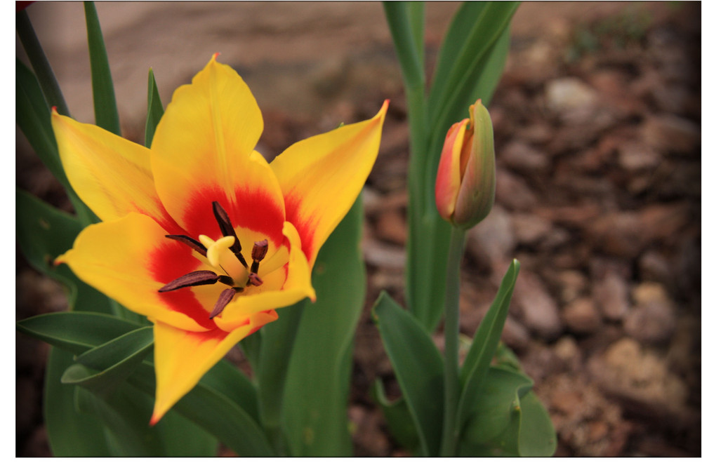 Fanfan la tulipe!