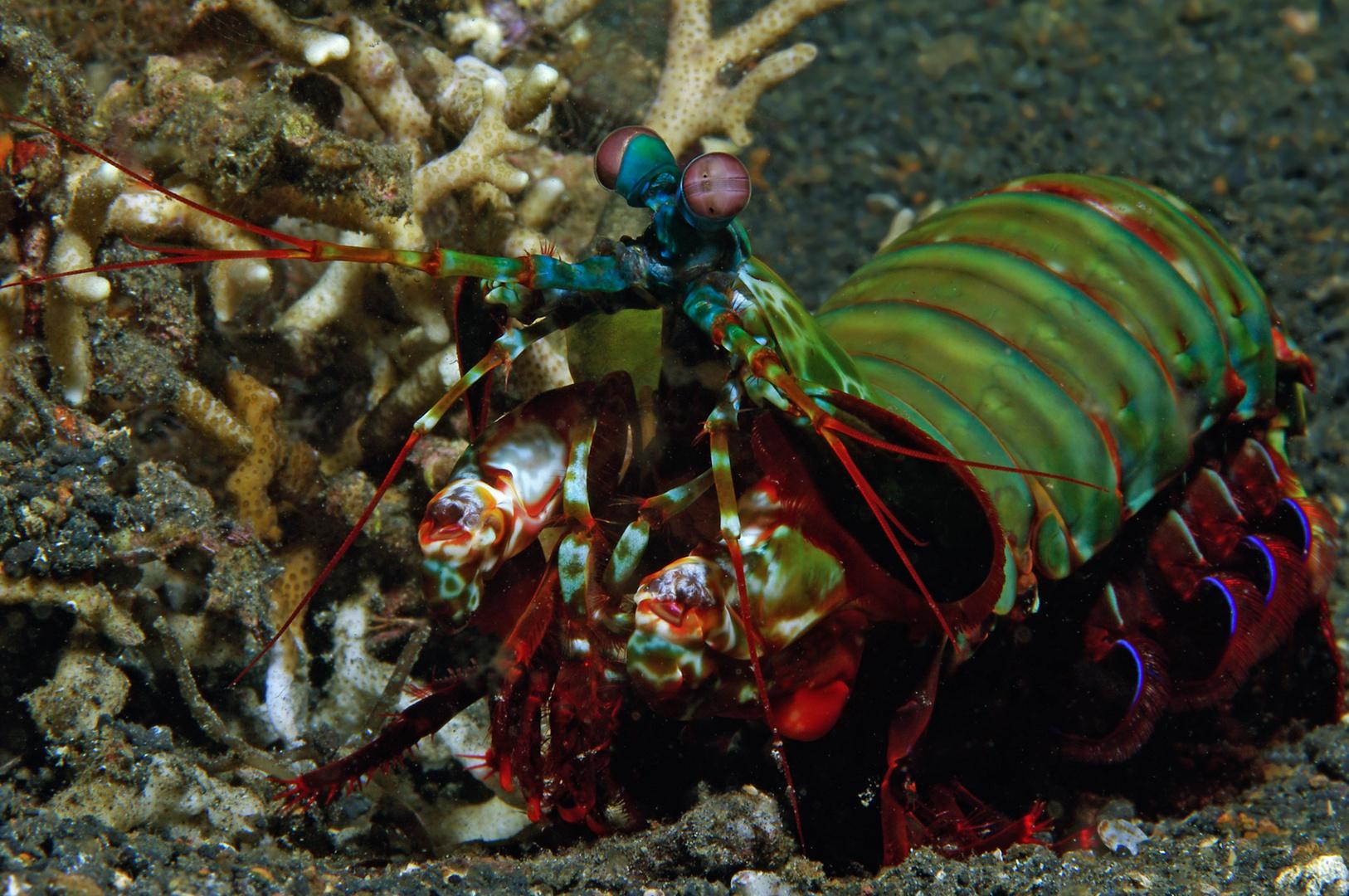 Fangschreckenkrebs (Manti Shrimp) Schmetterer
