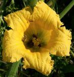 Farbe Gelb - Kürbisblüte