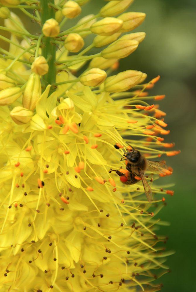 farbe gelb steppenkerze foto bild pflanzen pilze flechten bl ten kleinpflanzen. Black Bedroom Furniture Sets. Home Design Ideas