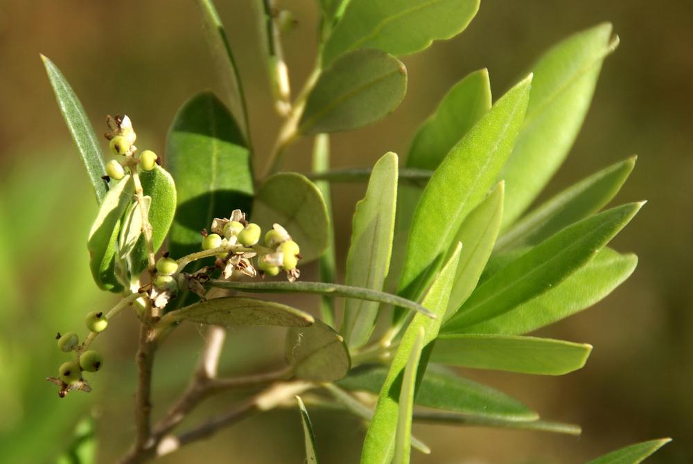 Farbe Olivgrün - Junge Oliven