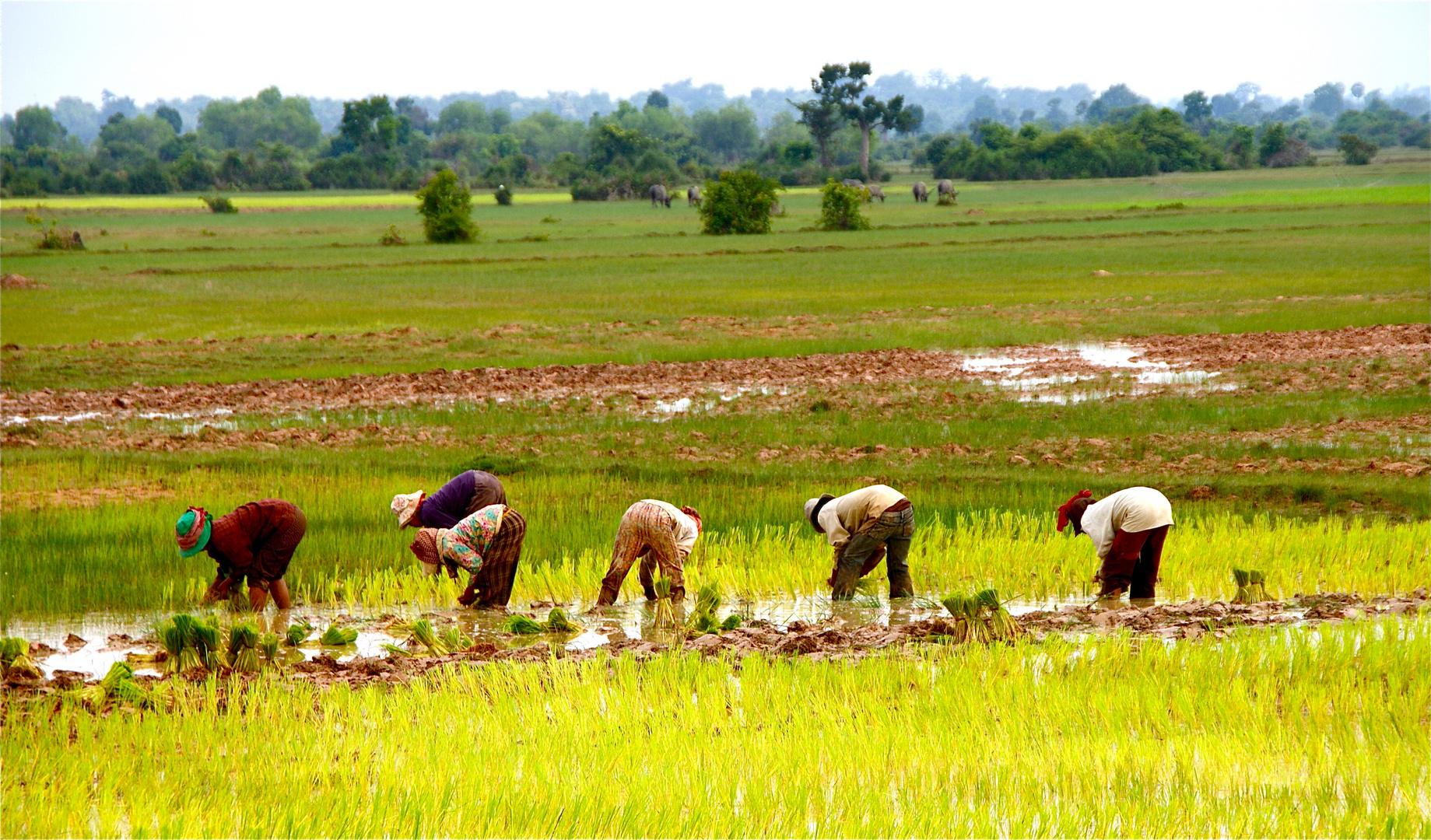 farben im reisfeld, cambodia 2010