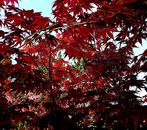 Farben in Rot.    In den Ahorn fotografiert.
