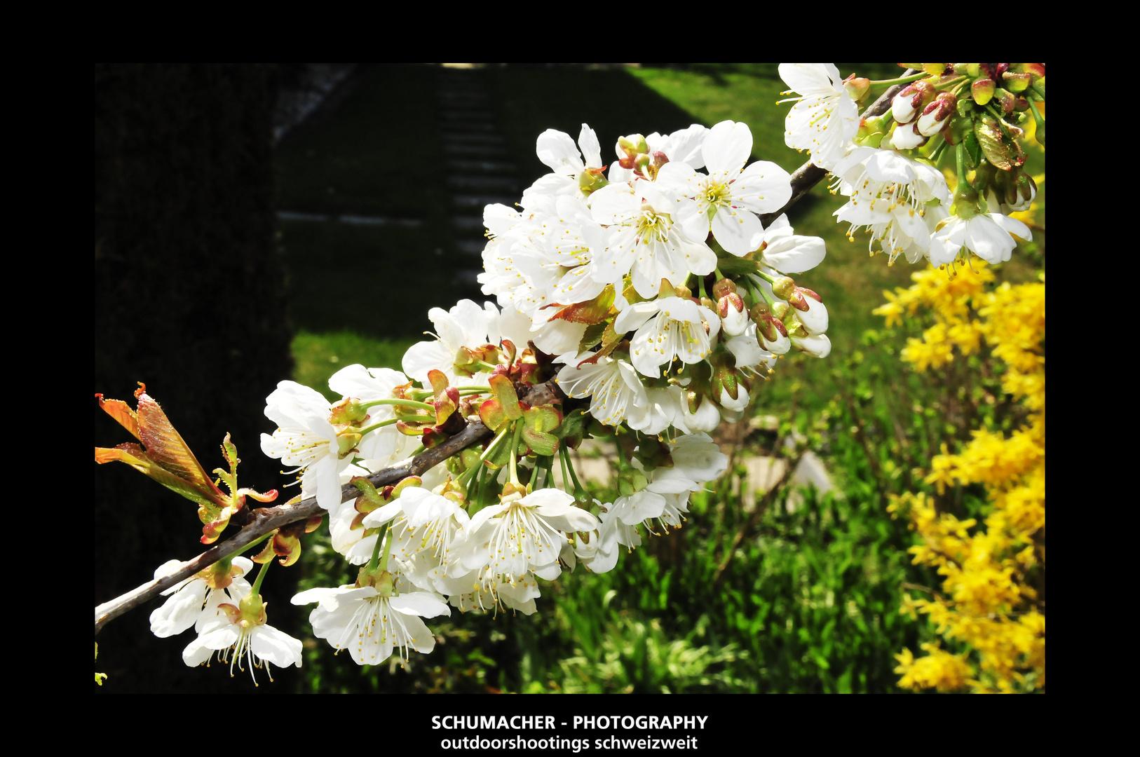 farben pracht im fr hling am kirschbaum foto bild pflanzen pilze flechten b ume. Black Bedroom Furniture Sets. Home Design Ideas