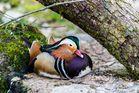 Farbenfrohe Ente