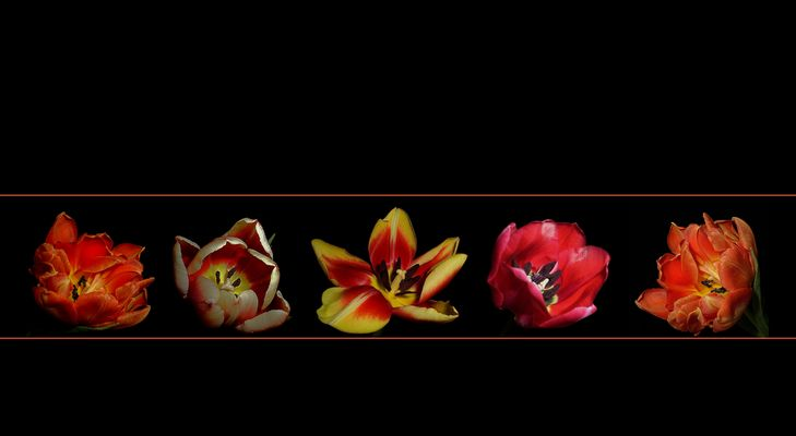 ..Farbenfrohe Tulpen..