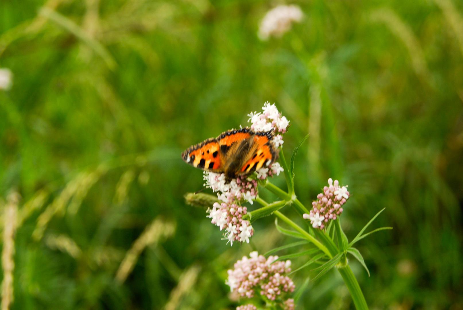 Farbenfroher Schmetterling