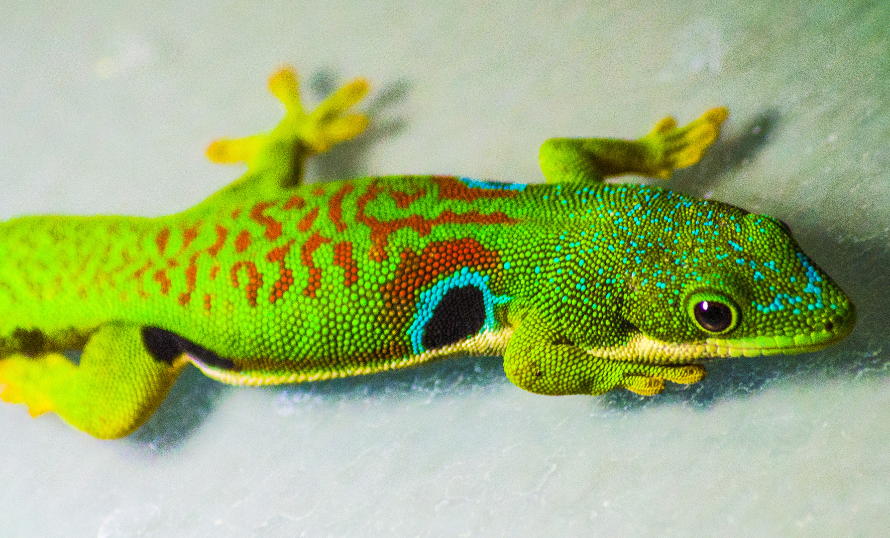 farbenprächtige Phelsume