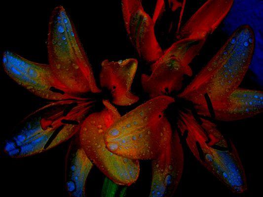 farbenspiel auf lilienblüte