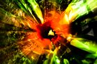 Farbexplosion Tulpe