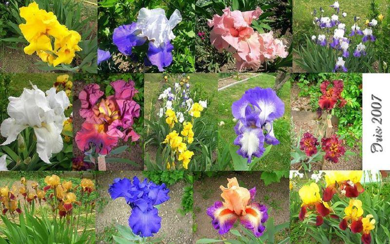 Farbige Iris Blumen Mosaïk