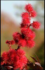 Farbiger Oktober - Rizinus-Blüte.....