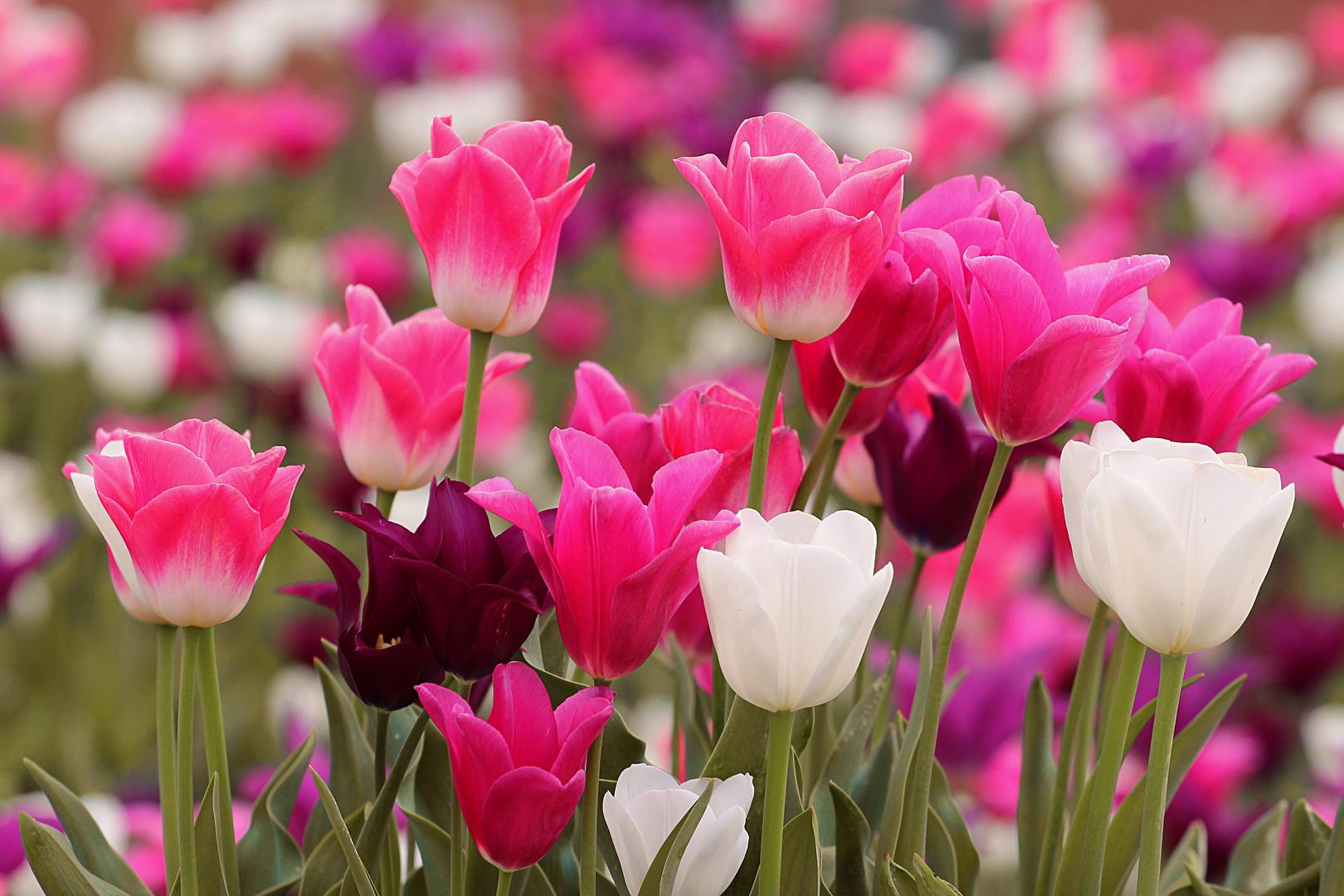 Farbiges Tulpenmeer
