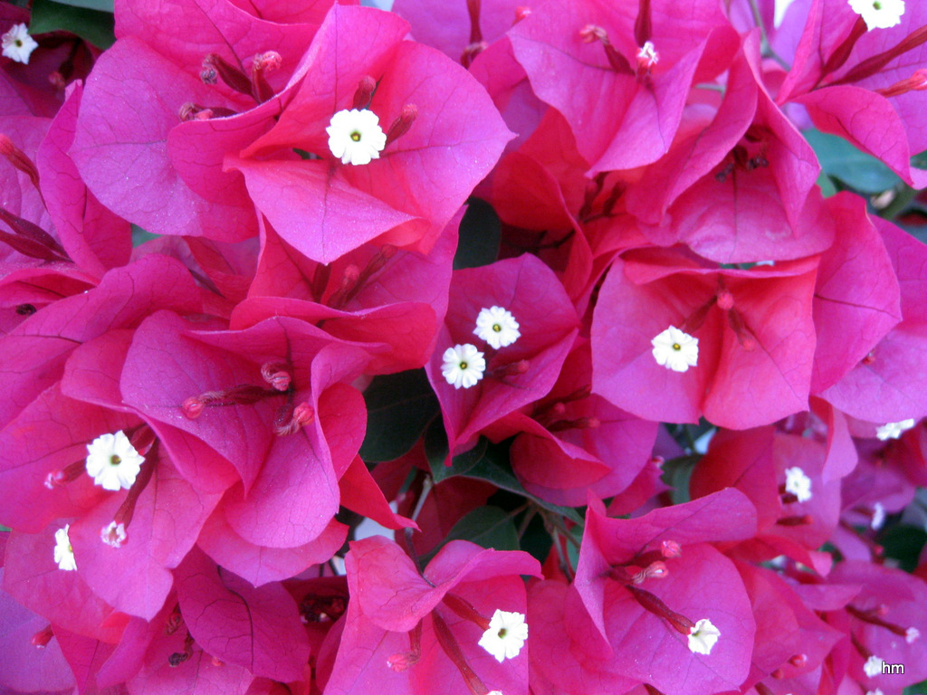 Farbsinfonie: Bougainvillea auf Mallorca