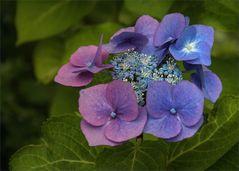 Farbspiele der Hydrangea serrata...