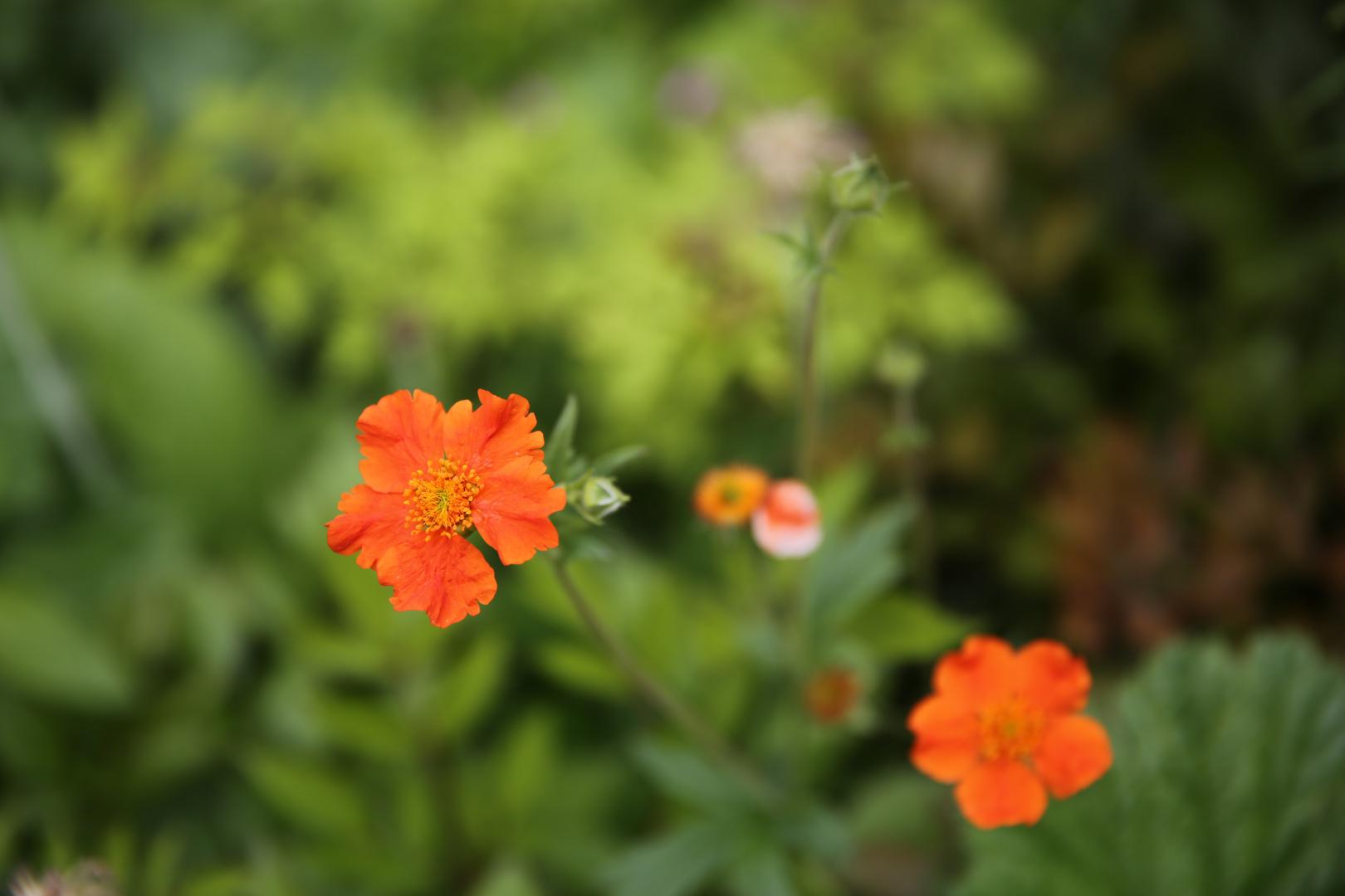 Farbtupfer im Vorgarten
