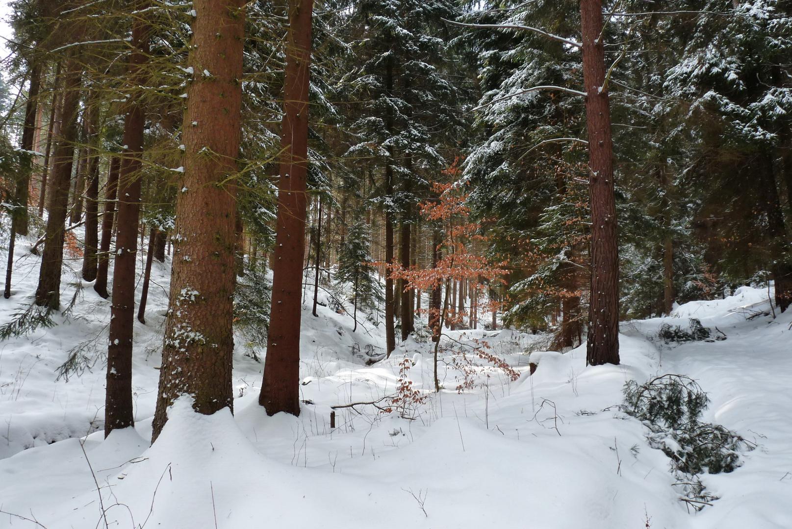 Farbtupfer im Winterwald