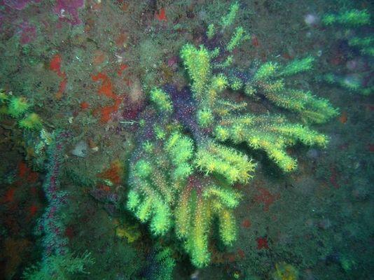 farbwechselnde Gorgonie, Mittelmeer, Costa Brava, Tamariu, Tiefe ca. 25 m