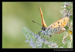 Farfalla 10