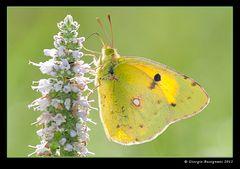 Farfalla 13 (Colias hyale - farfalla del fieno)