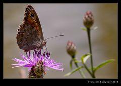 Farfalla 14