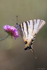 Farfalla #18