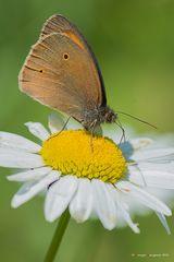 Farfalla #20