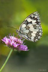 Farfalla #24 (Melanargia galathea)