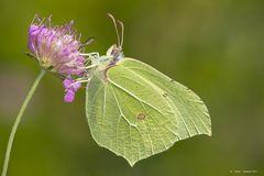 Farfalla #25 - (Gonepteryx rhamni - Cedronella - femmina)