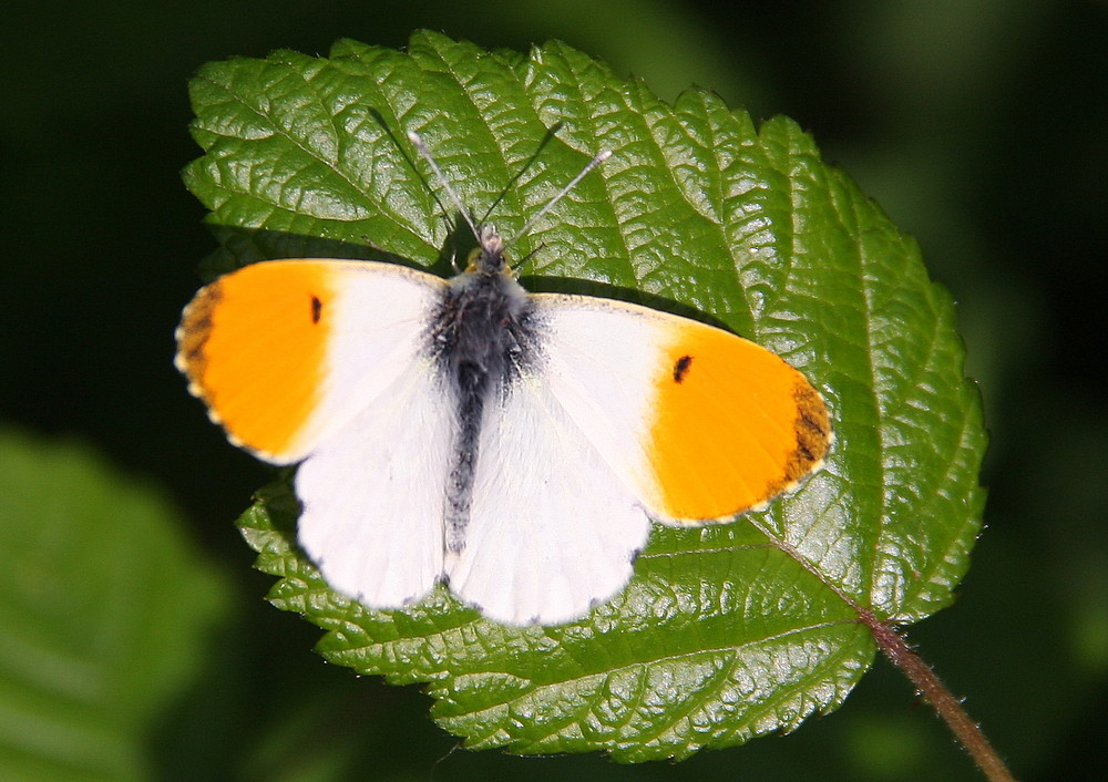 Farfalla 3/2009