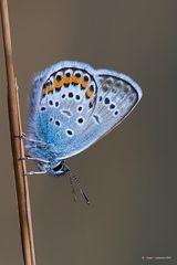 Farfalla #47