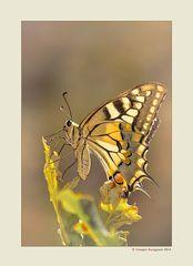 Farfalla #52 - Farfalla Macaone (Papilio machaon)
