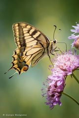 Farfalla #55