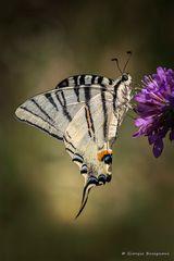 Farfalla #57
