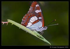Farfalla 6