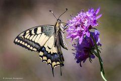 Farfalla #60