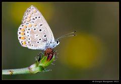 Farfalla 7